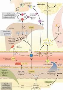 Postprandial Lipid Distribution