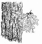 Oak Tree Drawing Bark Getdrawings Basketry Selecting sketch template