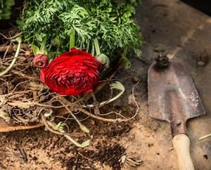 Tulpen Im Topf In Der Wohnung : ranunkeln im topf richtig pflegen darauf sollten sie achten ~ Buech-reservation.com Haus und Dekorationen