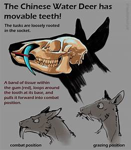 The skull of the Chinese Water Deer is one of the most ...