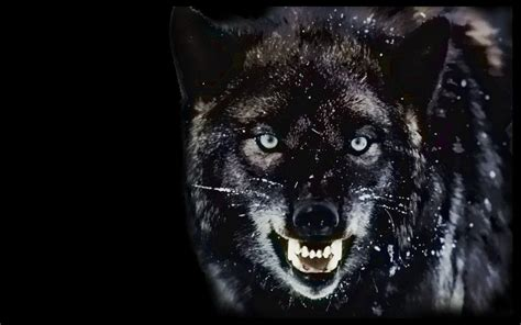 Angry Wolf Wallpaper Black by Wolf Wallpapers Wallpaper Cave
