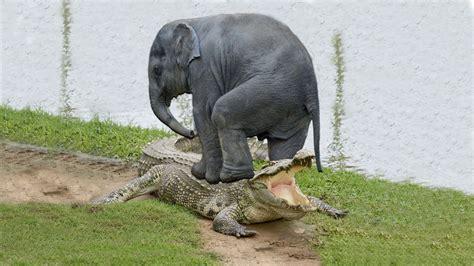 amazing elephant save baby elephant  crocodile hunting