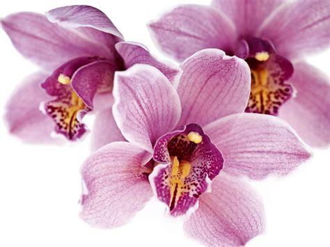 immagini fiori orchidee un orchidea da regalare alle mamme per sostenere il