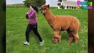 Funny Alpaca At... Funny Videos