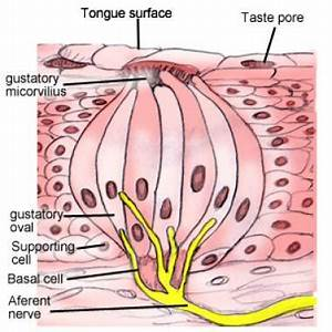 Taste System Anatomy  Overview  Gross Anatomy  Microscopic