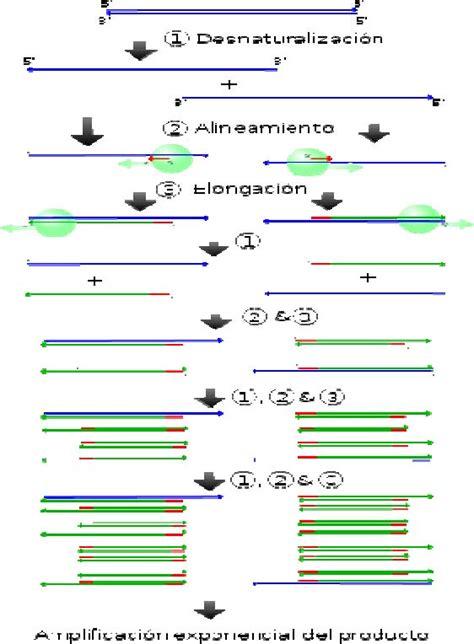 bureau de la pcr capitulo 85 reacci 243 n en cadena de la polimerasa pcr y otras t 233 cnicas moleculares en el