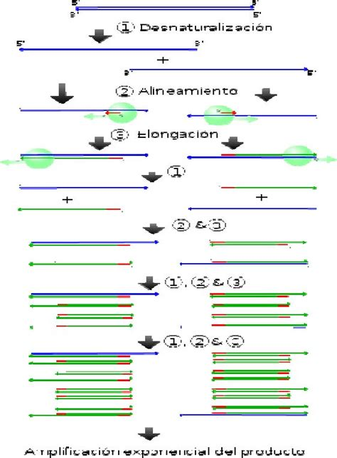 capitulo 85 reacción en cadena de la polimerasa pcr y