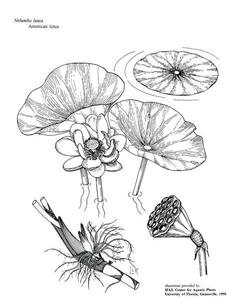 Diagram Of Water Flower by Lotus Flower In Water Drawing At Getdrawings Free