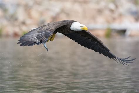 American Eagle Free Stock Photo  Public Domain Pictures