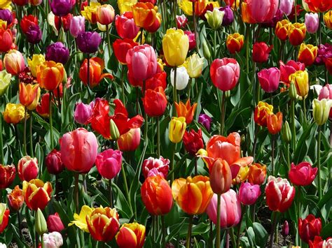 when do u plant tulips when to plant tulips world love flowers