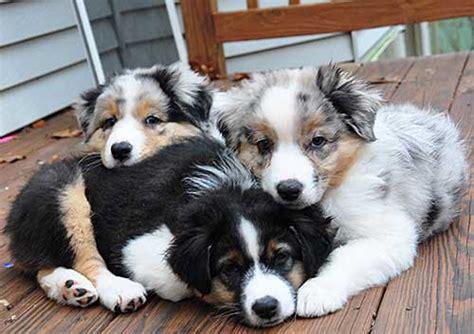 cute australian shepherd puppies   fun