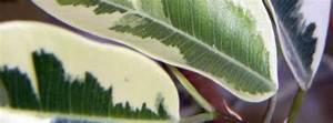 Entretien Plante Verte : entretien des plantes vertes ~ Medecine-chirurgie-esthetiques.com Avis de Voitures
