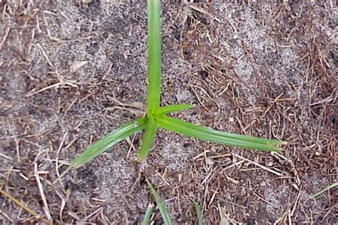 nutgrass weed identification brisbane city council