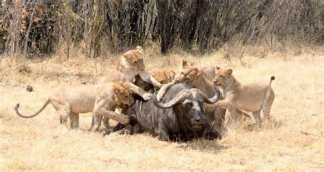 imagenes asombrosas de leones  leonas cazando animales hoy