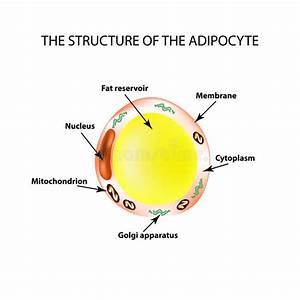 The Anatomical Structure Of The Fat Cells  Adipocyte