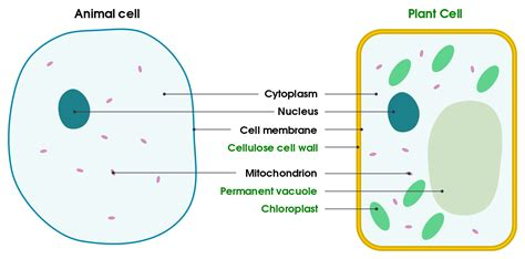Filedifferences Between Simple Animal And Plant Cells (en)svg  Wikibooks, Open Books For An