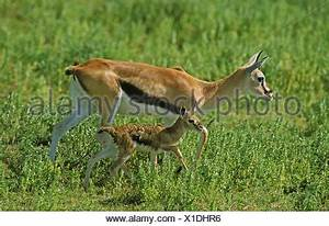 Thomson's Gazelle, gazella thomsoni, Female giving Birth ...