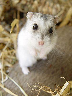 le mode de vie du hamster blog de hamster arlequin