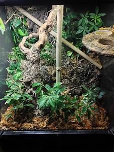 Louie my Madagascar giant day Gecko (Phelsuma ...