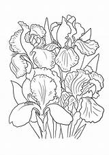 Coloring Flower Pages Lily Iris Drawing Printable Sheet Irises Getcolorings Drawings Colo Getdrawings Purple sketch template