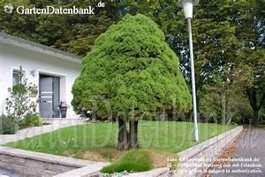 Baum Vorgarten Immergrün : bild zuckerhutfichte picea glauca zuckerhutfichte foto ~ Michelbontemps.com Haus und Dekorationen