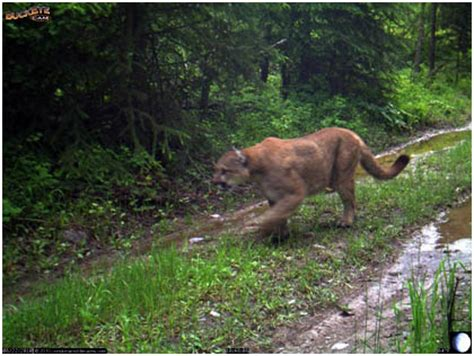Kentucky Department of Fish & Wildlife Mountain Lions