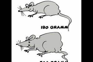 Unterschied Maus Ratte : video den unterschied zwischen maus und ratte kindgerecht ~ Lizthompson.info Haus und Dekorationen