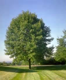 White Ash Tree Ash Tree Family Willis Orchards