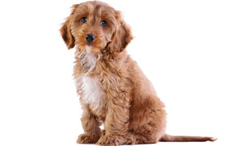 do f1 cockapoos shed cockapoo breed information pictures characteristics