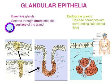 Ppt Glandular Epithelium Powerpoint Presentation Free
