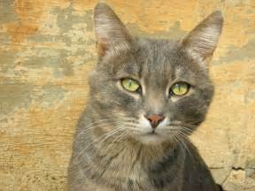 tabby cat pictures serious smoky tabby cat russian cats pictures