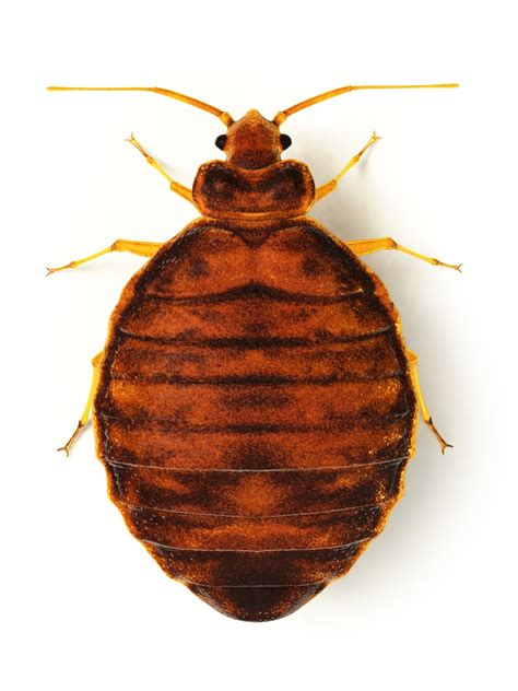 Bed Bugs by Bed Bug Facts And Myths Protect Yourself From The Epidemic