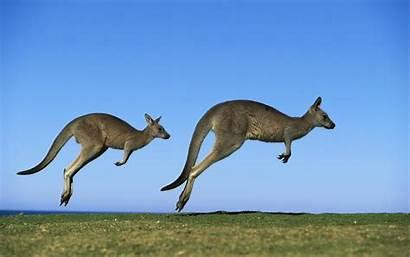 Kangaroo 1080p