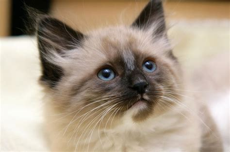 Current Affairs Himalayan Cat