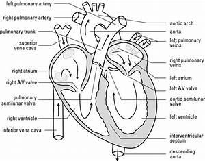 Blank Heart Diagram Blood Flow