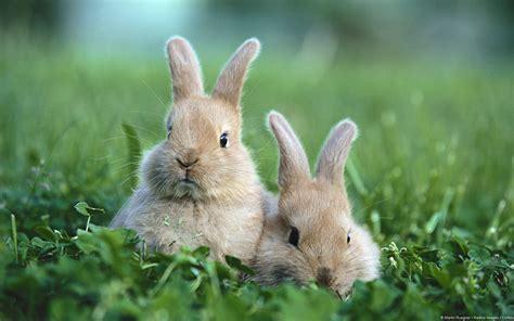 baby rabbit wallpaper cute  wallpaper walldiskpaper