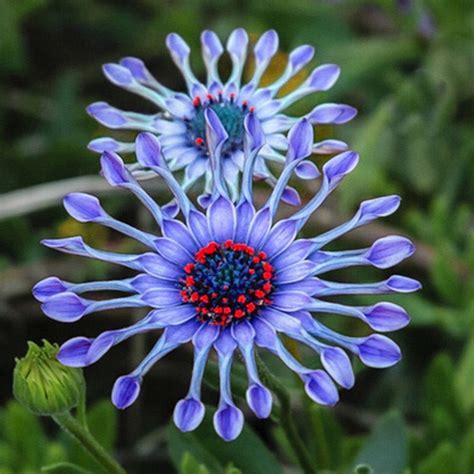 50pcs blue plants flower seeds