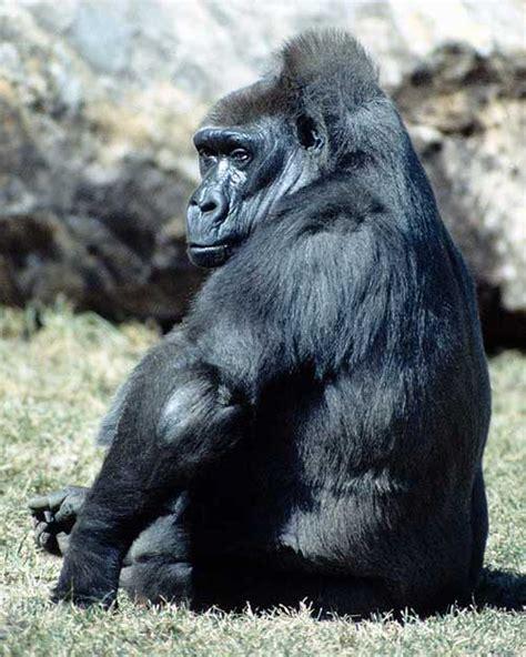 los gorilas grandes primates en la selva
