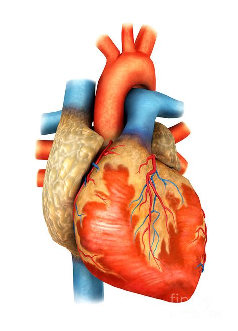 heart human   clip art  clip art