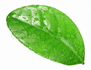 One green leaf with dew-drops of citrus-tree Isolated on ...