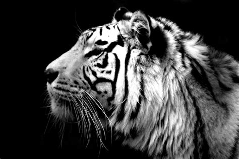 Animated Tiger Wallpaper - 30 animated tiger wallpaper pictures