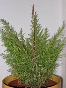 Balkonpflanzen Winterfest Machen : meine zimmerzypresse stirbt pflanzenkrankheiten ~ Watch28wear.com Haus und Dekorationen