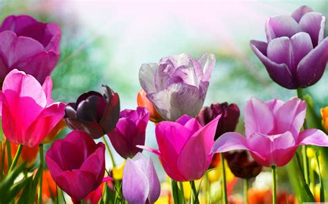 tulips hd wallpaper background images