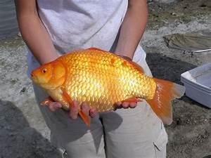 Giant Goldfish Swarm In Toronto Waters