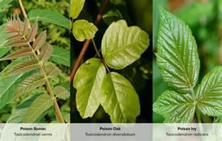 Poison Ivy Poison Oak and Sumac Rashes