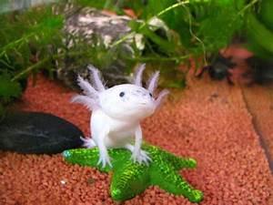 Tiere Für Aquarium : herz f r tiere lotl kleine wassermonster ~ Lizthompson.info Haus und Dekorationen