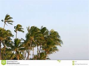 Palm Trees Blowing In The Wind Stock Image - Image: 1701