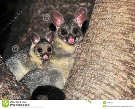 ring tailed possum  baby queenslandaustralia royalty