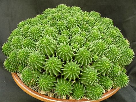 euphorbia care euphorbia susannae suzanne s spurge world of succulents