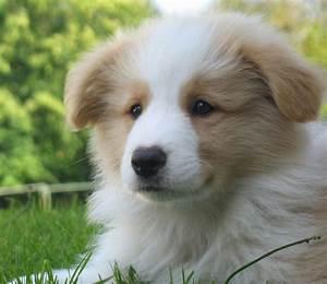 WANT! I saw a border collie/golden retriever mix puppy a ...